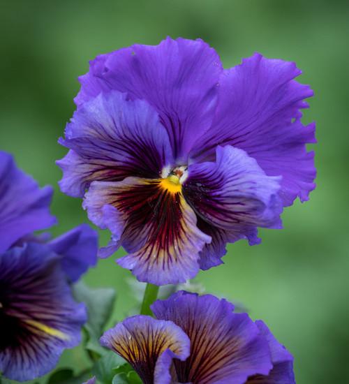 Viola x wittrockiana 'Frizzle Sizzle Yellow Blue Swirl' F1