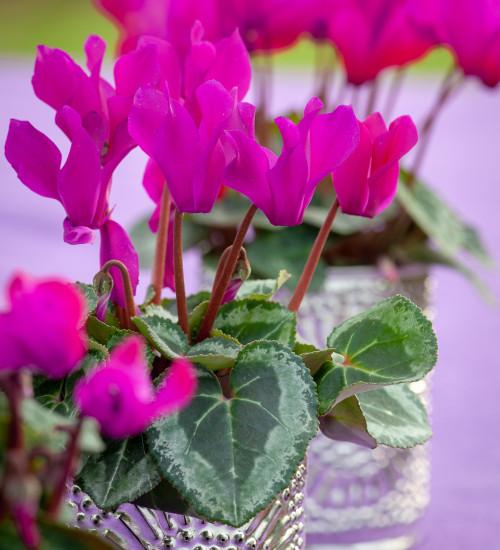 Cyclamen persicum 'Violette'