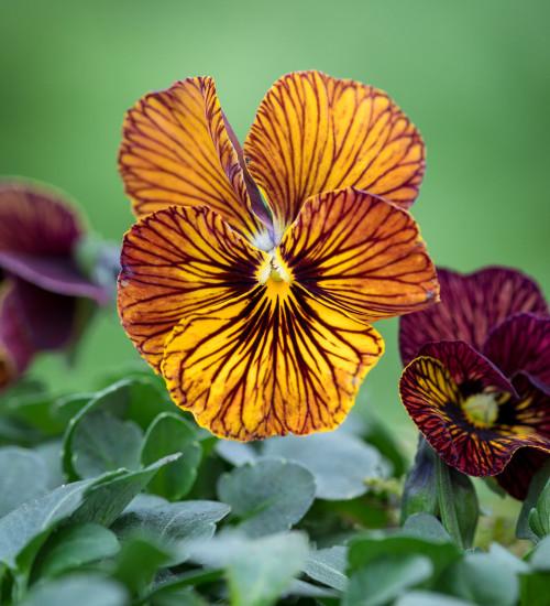 Viola cornuta 'Tiger Eye Red' F1