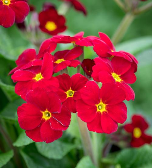 Polyanthus 'Stella Scarlet Pimpernel' F1