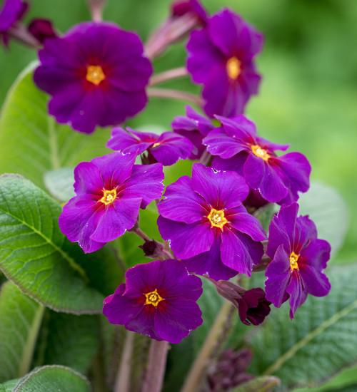 Polyanthus 'Stella Neon Violet' F1