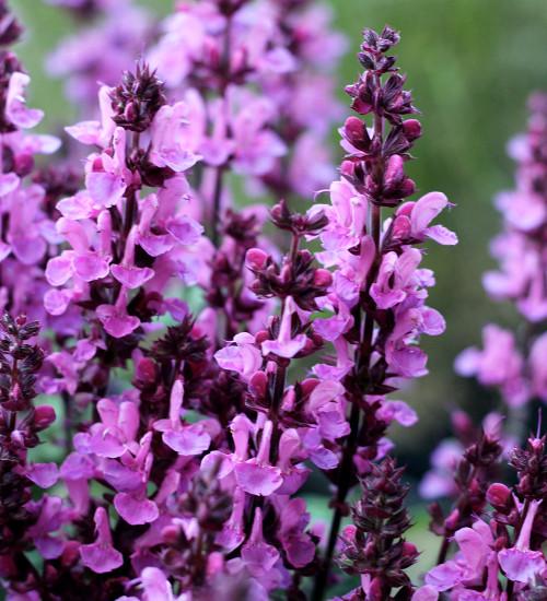 Salvia nemorosa 'Rose Marvel'