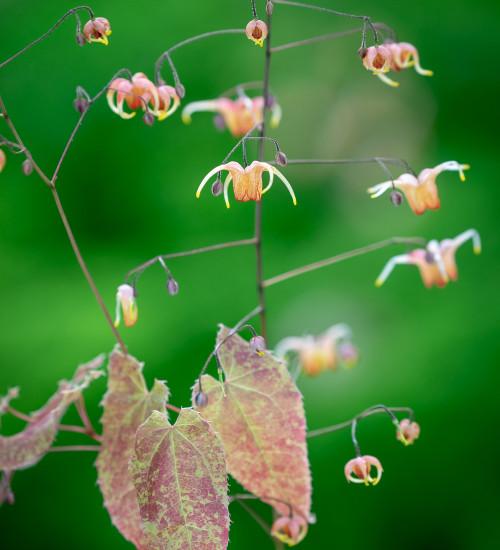 Epimedium x flavum 'Amber Queen'