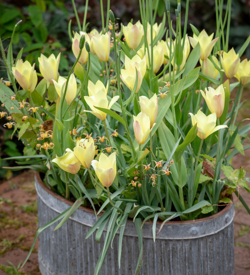 Tulip 'Honky Tonk' & Epimedium x flavum 'Amber Queen'