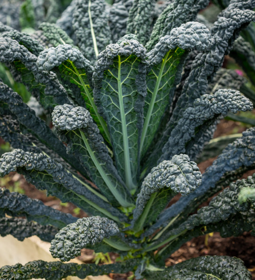 Kale 'Black Magic' F1