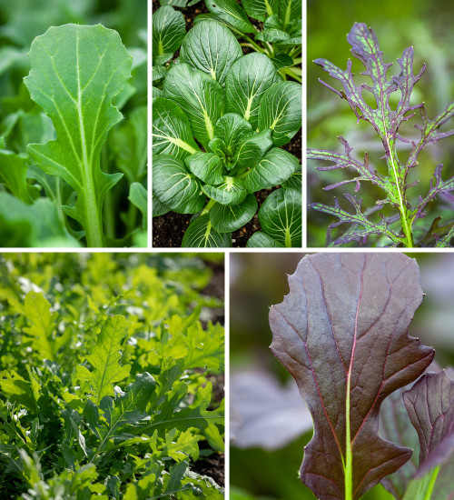 Hardy Winter Salad Leaf Collection