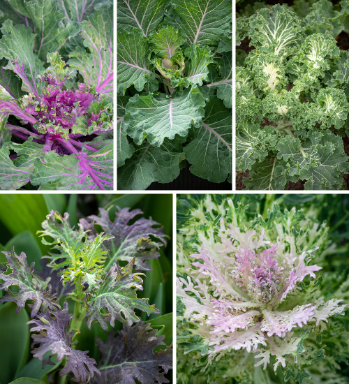 Gourmet Kale Collection