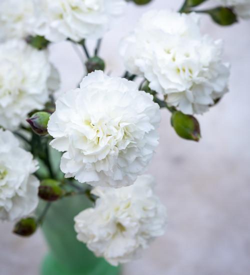 Dianthus 'Bridal Star'