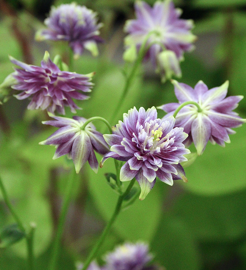 Aquilegia vulgaris var. stellata 'Christa Barlow'