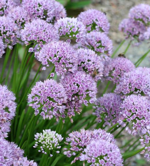 Allium senescens 'Pink Planet'