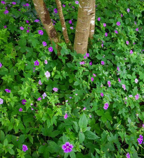 Geranium nodosum