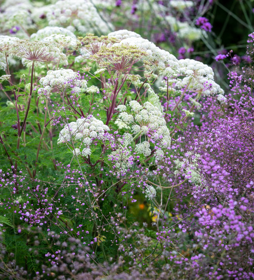 Selinum and Thalictrum Border Collection