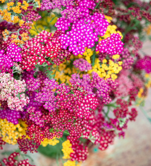 Bold and Brilliant Yarrow Collection