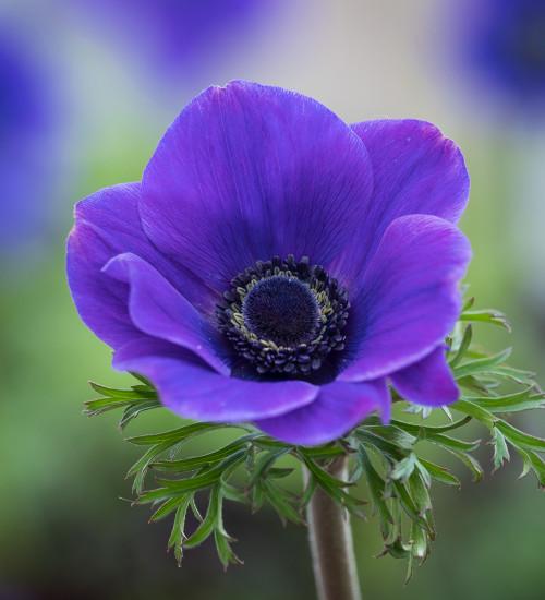 Anemone coronaria 'Jerusalem Blue'