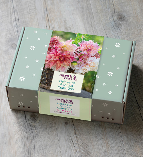 Dahlias as Peonies Collection in a Gift Box (5 tubers)