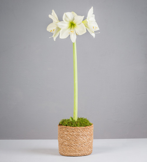 Potted Amaryllis in Seagrass Planter Gift Set