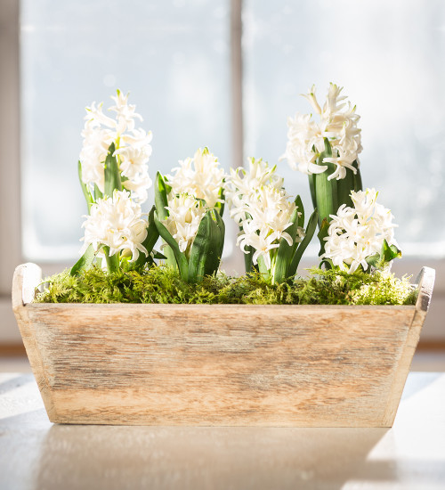 Potted Hyacinths in Wooden Planter Gift Set
