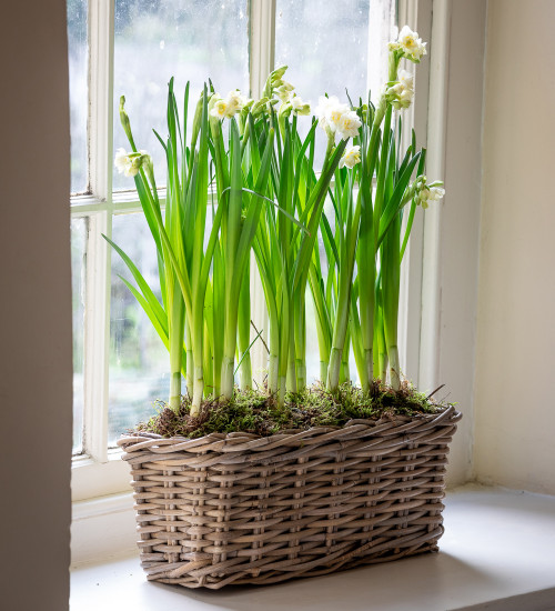 Potted Paperwhites in a Willow Trough
