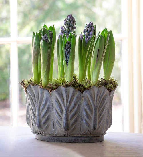 Potted Hyacinths in Leaf Zinc Planter