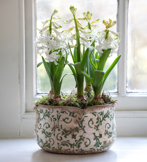 Potted Hyacinths in Wavy Edged Green Ceramic Bowl