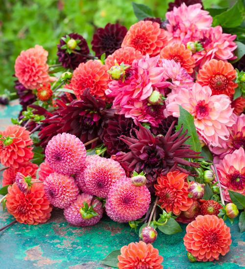Cinnamon Spice Dahlia Collection
