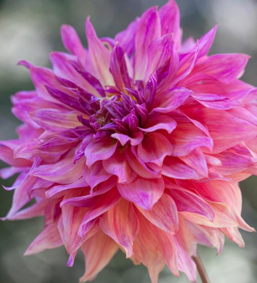 Dahlia 'Penhill Dark Monarch'