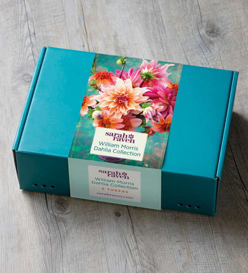 William Morris Dahlia Collection in a Gift Box (6 tubers)