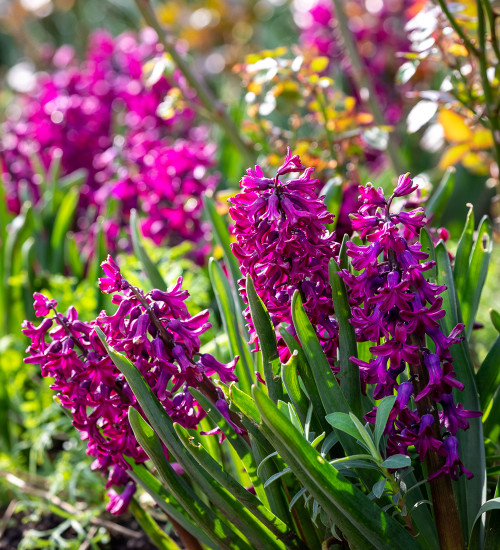 Hyacinthus orientalis 'Woodstock' for Forcing