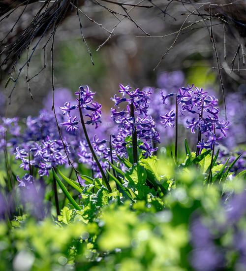 Hyacinthus orientalis 'Anastasia' (Multiflora)