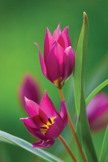 Tulip humilis 'Odalisque'