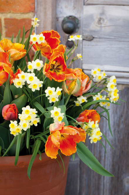 Scented Tulip & Narcissus Collection