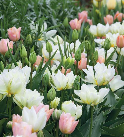 Apricot Beauty Tulip Mix
