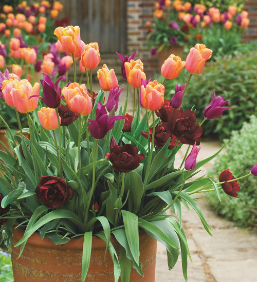 Garnet, Amethyst and Amber Tulip Collection