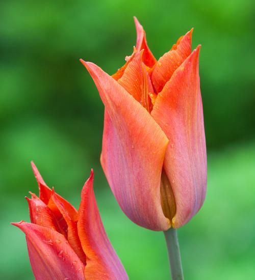 Tulip 'Request'