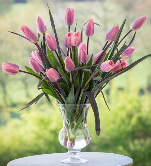 Tulip 'Light and Dreamy'