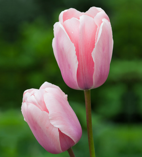 Tulip 'Salmon Impression'