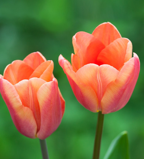 Tulip 'Apricot Foxx'