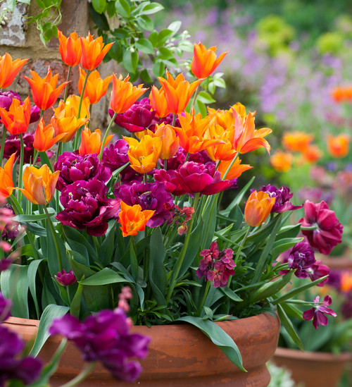 Easy Wow Tulip Collection