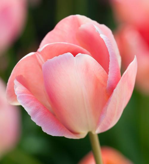 Tulip 'Mystic van Eijk'