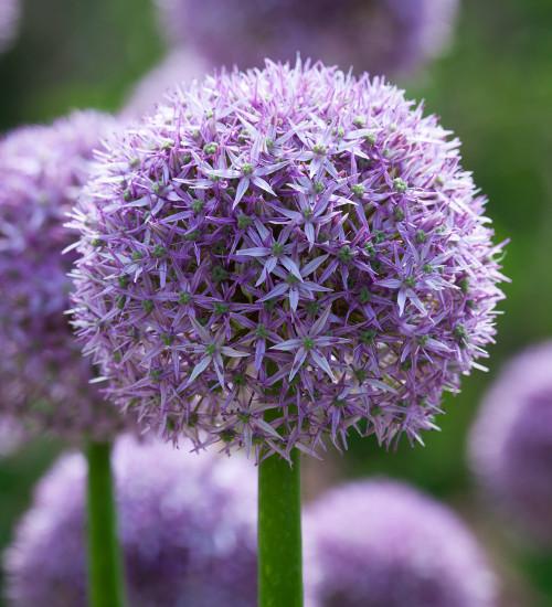 Allium x 'Beau Regard'