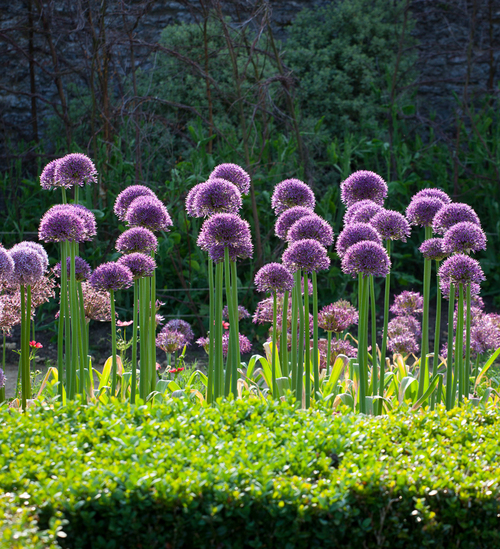 Allium 'Jackpot'