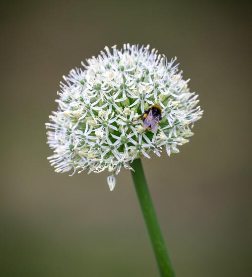 Allium stipitatum 'White Giant'
