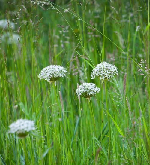 Allium for Grass Collection
