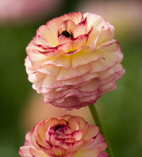 Ranunculus asiaticus 'Friandine Rose Picotee'