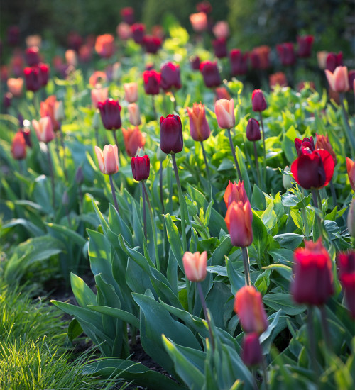 Plum and Apricot Tulip Mix