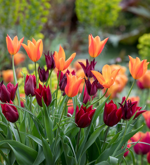 Lily-flowered Tulip Pot Collection