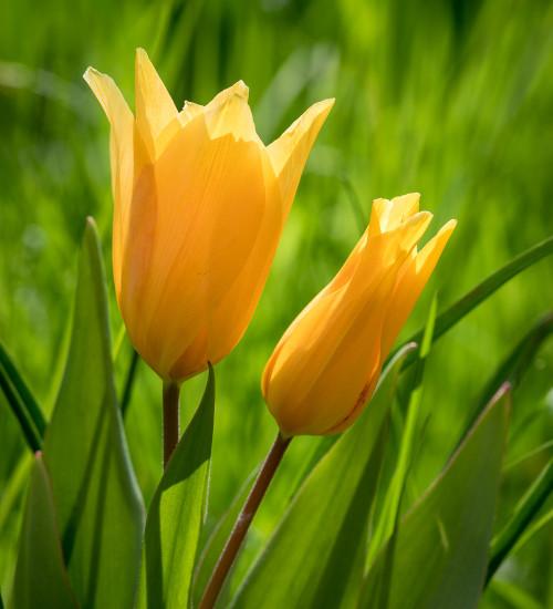 Tulip praestans 'Shogun'