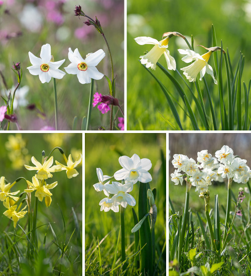 Narcissus for Naturalising Collection