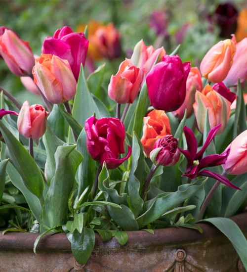 Pots with Pizzazz Tulip Collection