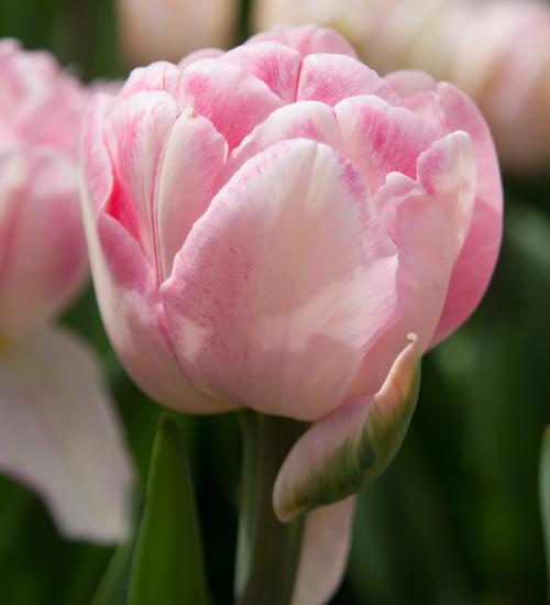 Tulip 'Foxtrot'